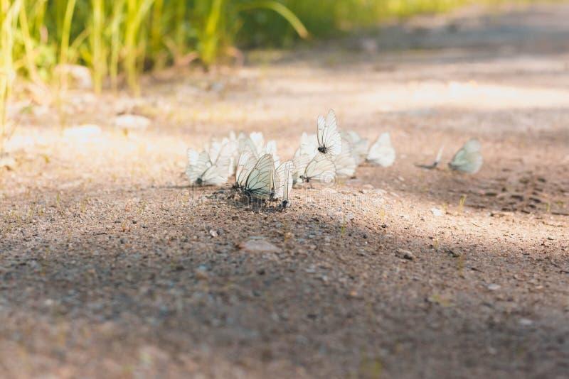 Många härliga vita fjärilar dricker vatten arkivbild
