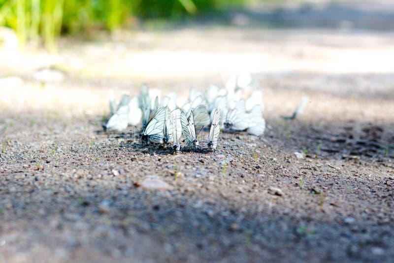 Många härliga vita fjärilar dricker vatten royaltyfria bilder