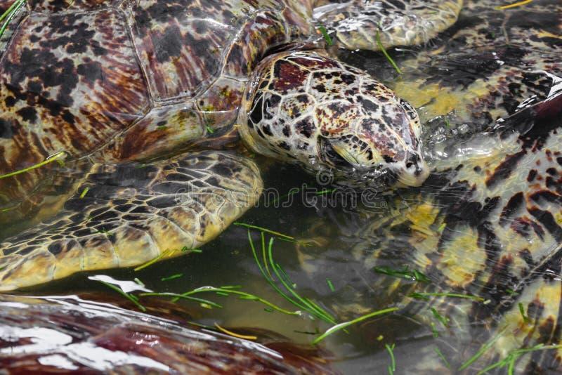 Många havssköldpaddor som simmar i vattendammet och äter havsgräs i Bali, Indonesien royaltyfria foton