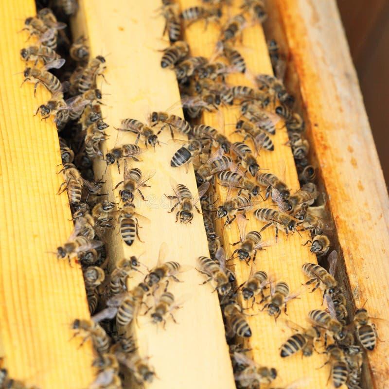 Många honungbin i en bibikupa arkivbilder