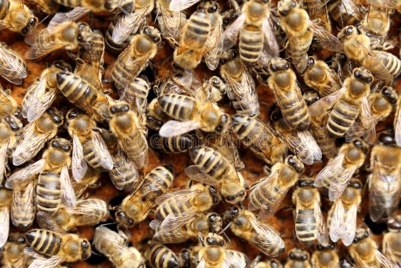 Många honungsbin är på bivax royaltyfri fotografi