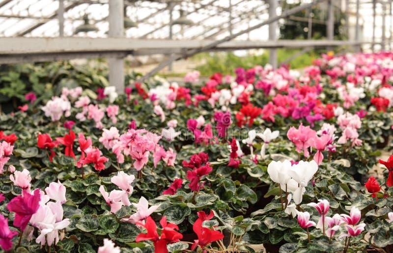 Många inlagda blommande blommor i växthus arkivfoto