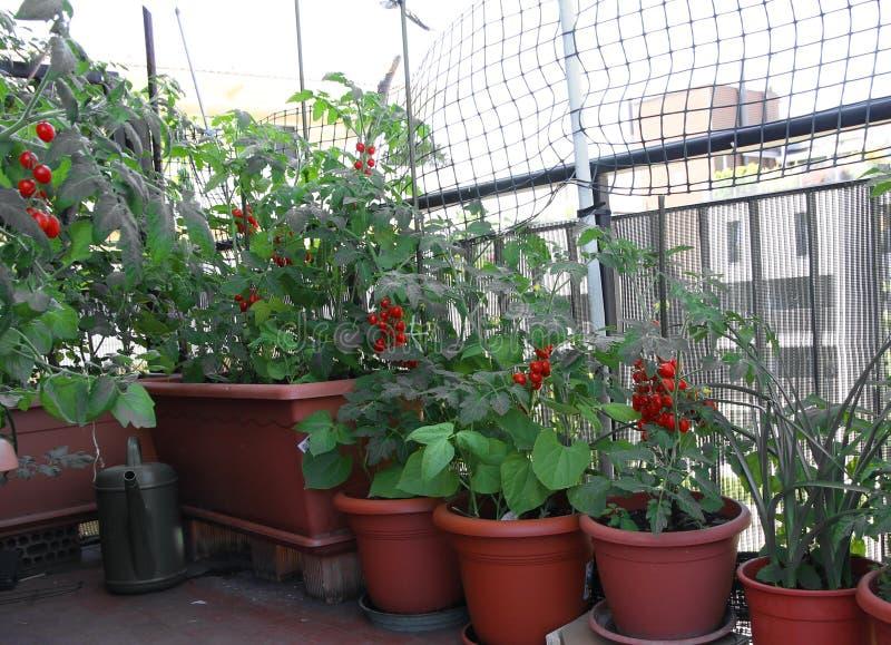Många inlagda TOMATväxter på terrassen av huset arkivfoton