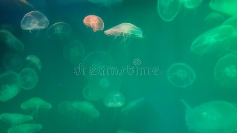 Många jelyfish Grönt härligt hav royaltyfria bilder
