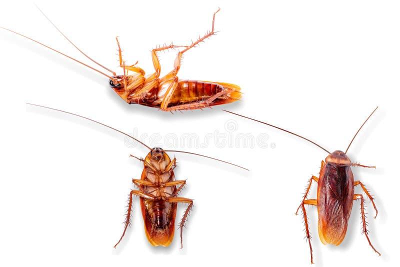 Många kackerlackor på den vita bakgrunden arkivbild