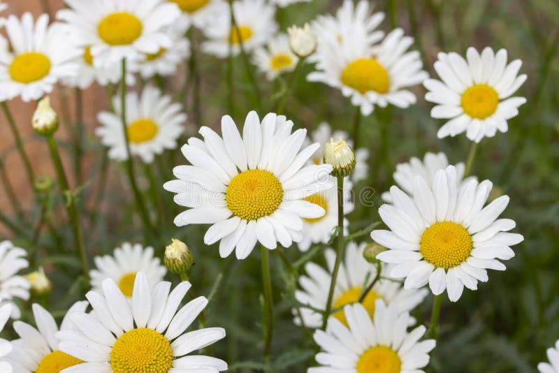 Många kamomilltusenskönor, bakgrundstapetnärbild Vit kronbladkamomill Blomma löst medicinskt gräs, bakgrundstapet arkivbilder