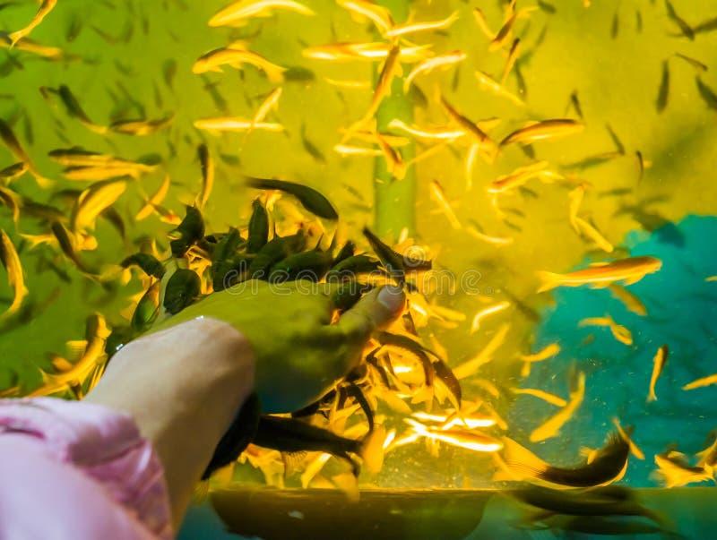 Många knaprar fiskar som knaprar den döda huden av en mänsklig hand, populära brunnsortbehandlingar, hudhälsovård arkivbild