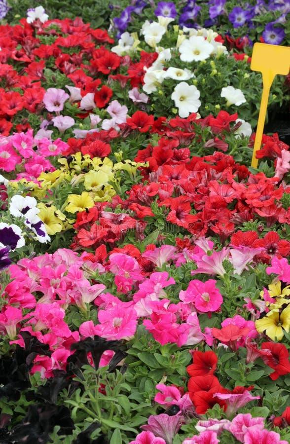 många krukor av petuniablommor som är till salu på marknaden royaltyfri foto