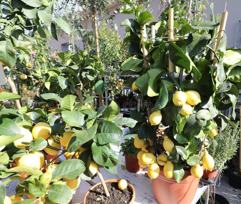 många krukor med det till salu citronträdet royaltyfri bild