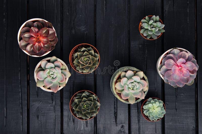 Många krukor, vit keramiskt, grått och konkret med växtsuckulenter av röd lila och grönt Stå i rad, formen royaltyfria bilder