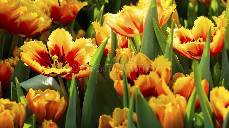 Många ljus orange röd cultivar för tulpanblommaförkärlek med blommor och grön bladbakgrund i tulpanfält på vårdagen för fotografering för bildbyråer