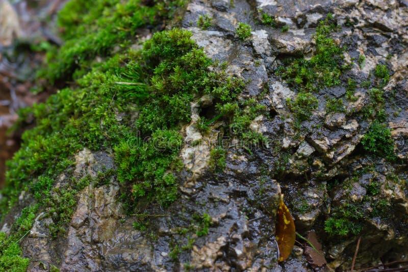 Många mossor är på vaggar i trädgården Naturlig bakgrund arkivfoton