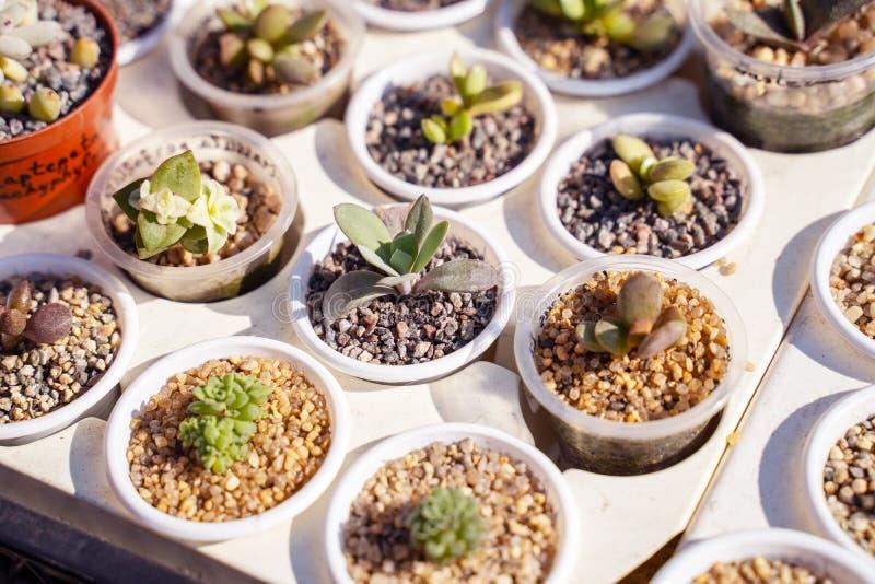 Många olika kakturs i blomkrukor blandar att sälja i blommalager, bästa sikt Trädgårdmitten med lotten lade in liten kaktusväxtfö fotografering för bildbyråer