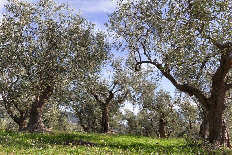 Många olivträd i liguria arkivfoto