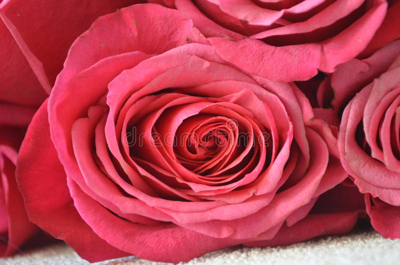 Många omantic rosa rosor för makro royaltyfria bilder