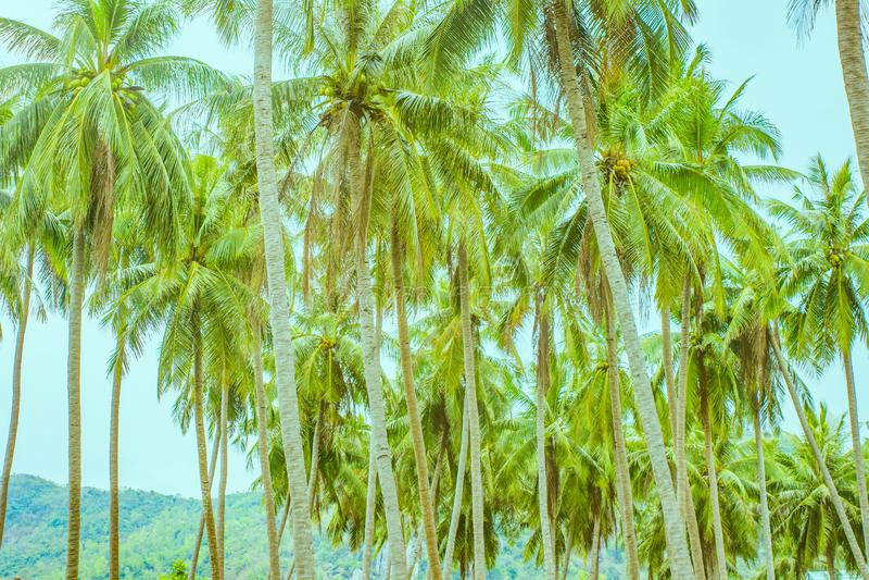 Många palmträd i rader royaltyfria bilder