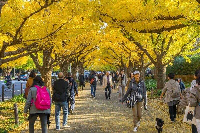Många personer som går under ginkgoträd på den Icho Namiki avenyn fotografering för bildbyråer