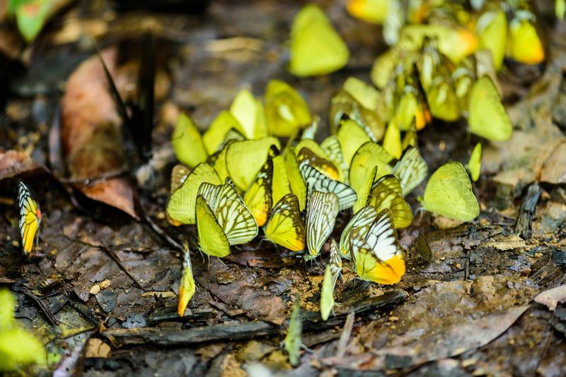 Många pieridaefjärilar matar mineral i salt träsk i f royaltyfria foton