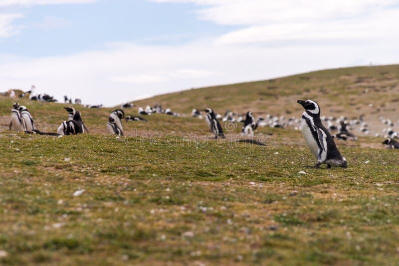 Många pingvin på Isla Magdalena arkivbilder