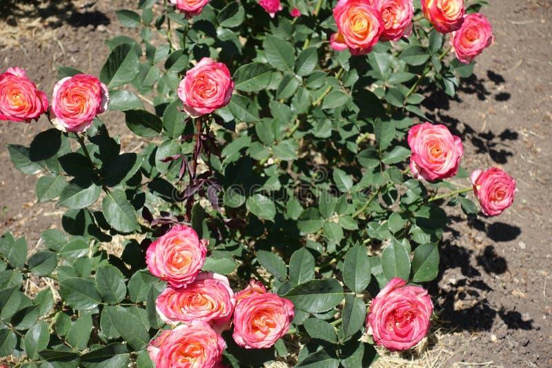 Många rosa och gula blommor av rosen arkivfoto