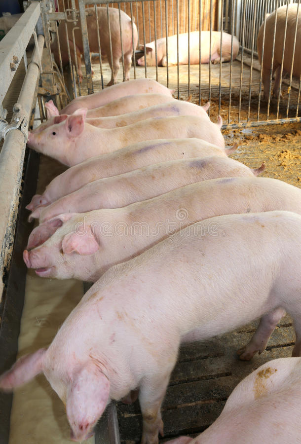 Många rosa svin i vageln av den djura avelsdjuret för lantgård royaltyfria foton