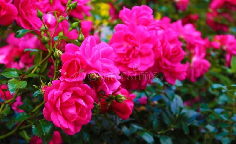 Många rosblommor med kronblad royaltyfri fotografi