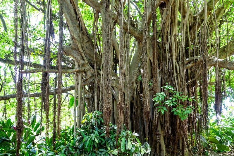 Många rotar på Banyanträd arkivfoto