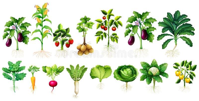 Många rotar sorten av grönsaker med sidor och stock illustrationer
