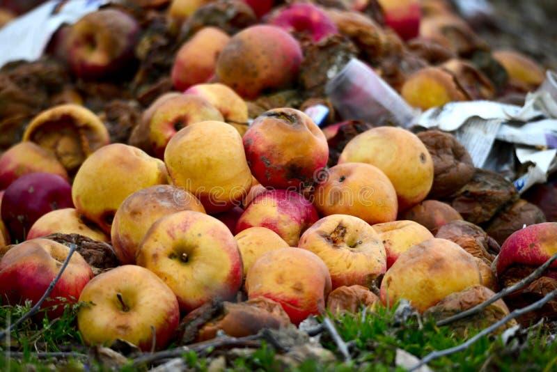 Många ruttna äpplen på jordningen royaltyfria foton