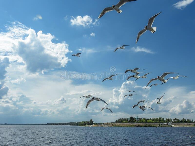 Många seagulls medföljer på ett lopp till och med floden på färjan arkivfoton