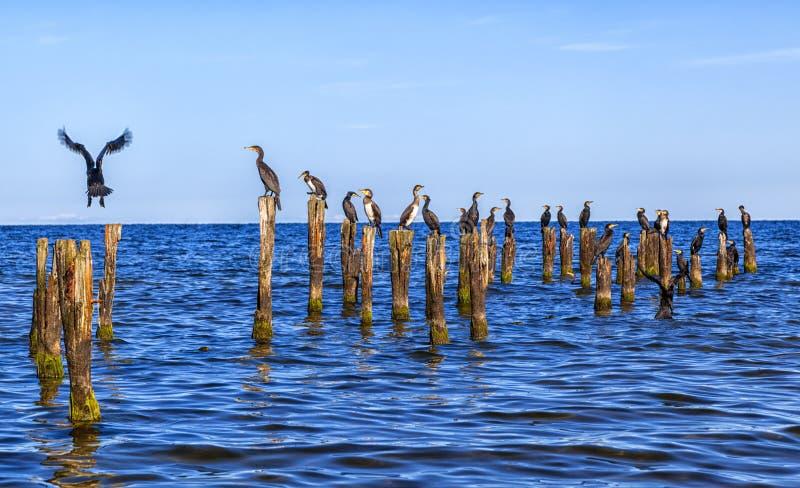 Många seagulls sitter på insatser i det baltiska havet royaltyfri foto