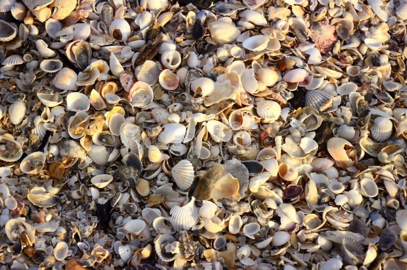 Många skal på stranden royaltyfri foto