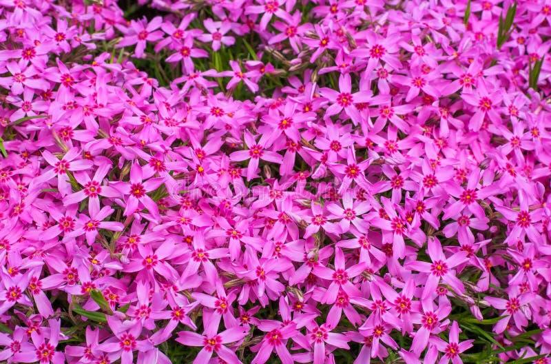 Många små rosa färgblommor fotografering för bildbyråer