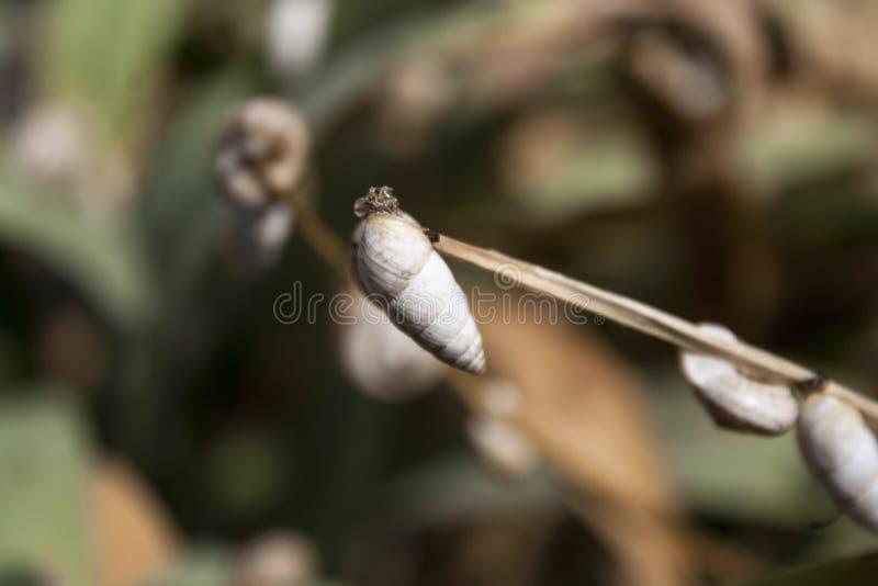 Många sniglar Snigel på växten royaltyfri bild