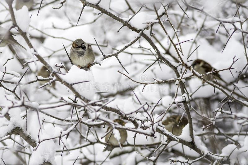 Många sparvar som sitter på filialerna av ett hagtornträd som täckas med snö royaltyfria foton
