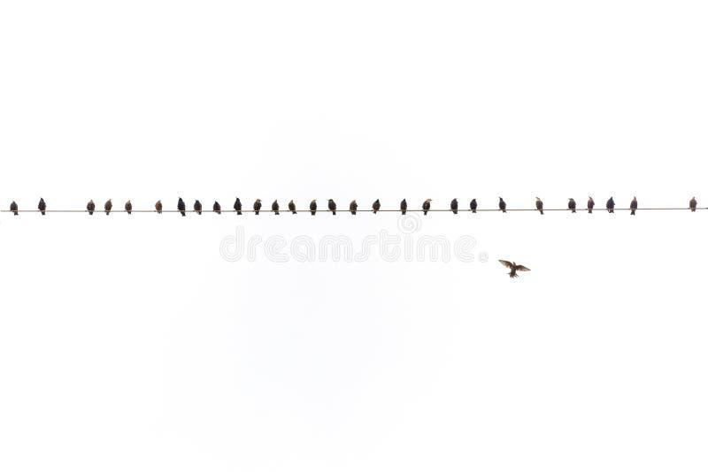 Många stare som den vulgaris fågelsturnusen sitter på en kraftledninghöjdpunkt upp i den ljusa himlen, en, flyger, avståndsskott, arkivbilder