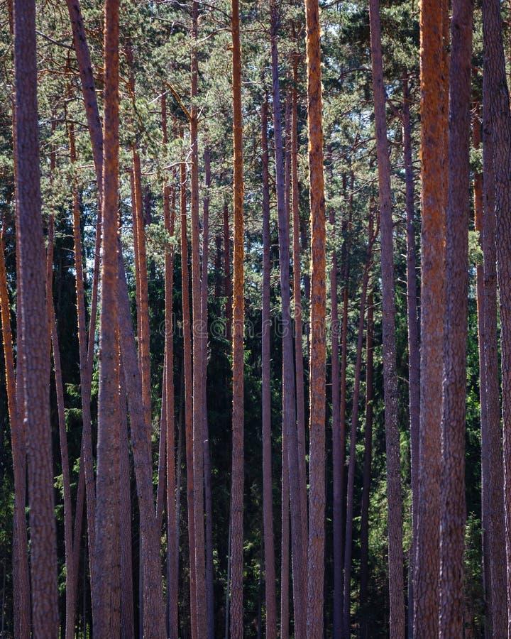 Många tjockt sörjer långa stammar arkivbild