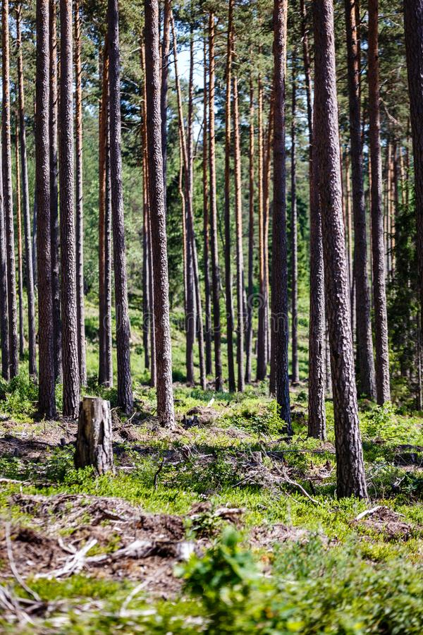 Många tjockt sörjer långa stammar arkivfoto