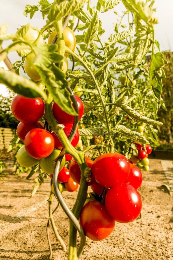 Många våta röda mogna tomater och omoget på den valda pinnenärbilden royaltyfria bilder
