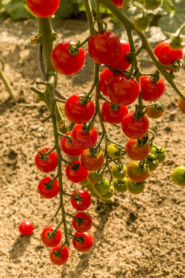 Många våta röda mogna tomater och omoget på selektiv fokus för pinne royaltyfri bild