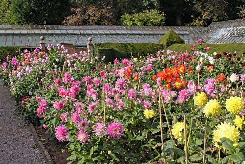 Många variationer av dahlian som växer i en engelsk landsträdgård arkivfoto