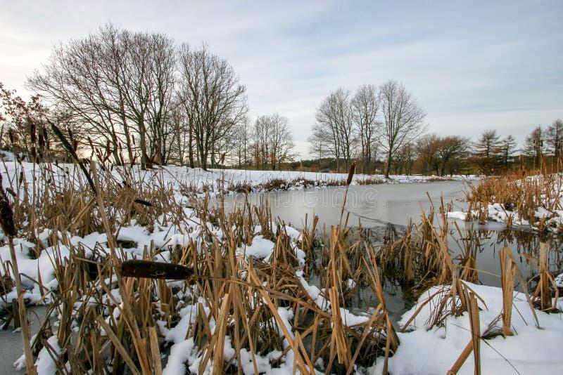Många vasser i förgrunden som täckas med snöpinnar ut ur isen i en liten sjö royaltyfri bild