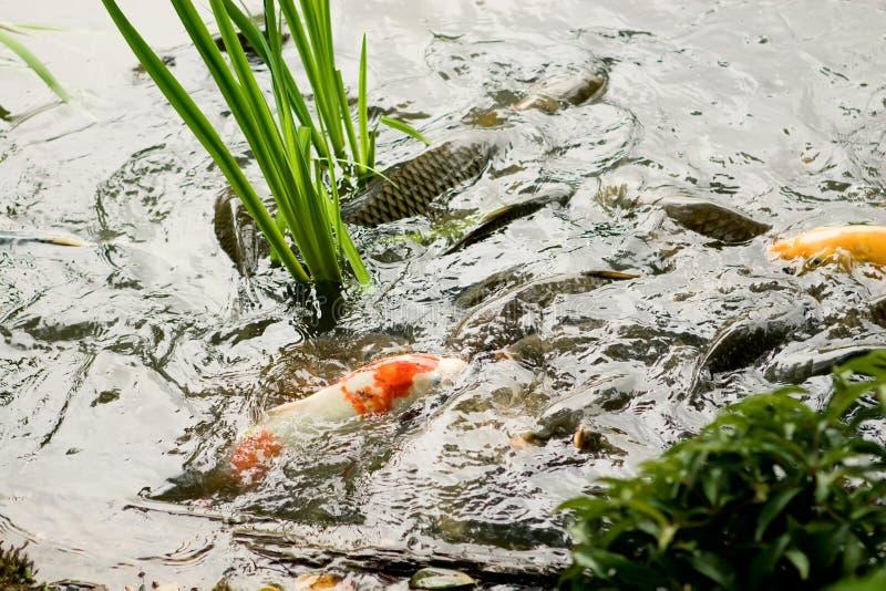Mångfärgad fisk - koisimning i ett damm. royaltyfri bild
