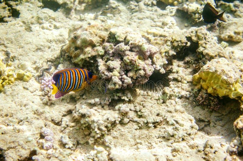 Mångfärgad randig havsängel i vattnet av Röda havet Fisken svävar på botten bland korallerna royaltyfri fotografi