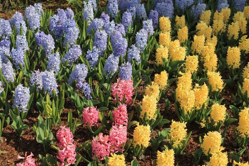 Mångfärgade vårhyacintblommor blommar utomhus i en tidig vårträdgård royaltyfri bild