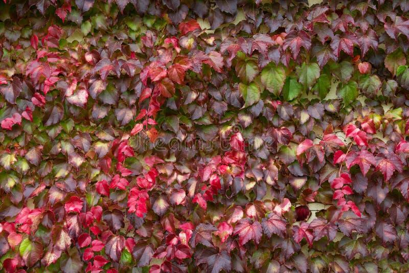 Mångfärgade våta Ivy Leaves With Raindrops Färgrika Ivy Leaves In Autumn, vit vägg som bakgrund Vägg av den röda murgrönan Ivy He royaltyfri foto