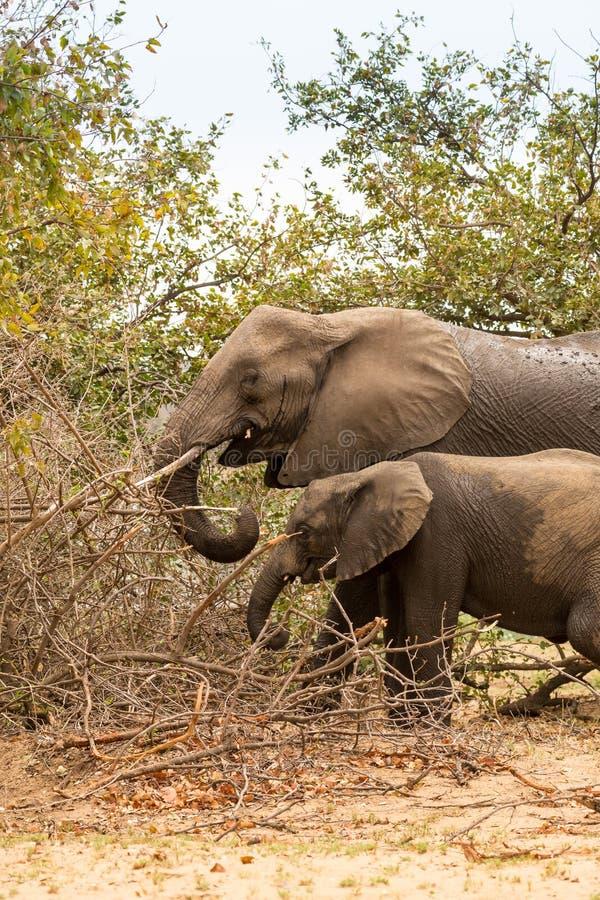 Mère avec l'éléphant de bébé alimentant dans Bush, parc de Kruger, Afrique du Sud photo libre de droits