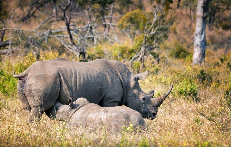 Mère blanche de rhinocéros avec le veau alimentant dans le sauvage l'Afrique du Sud image libre de droits