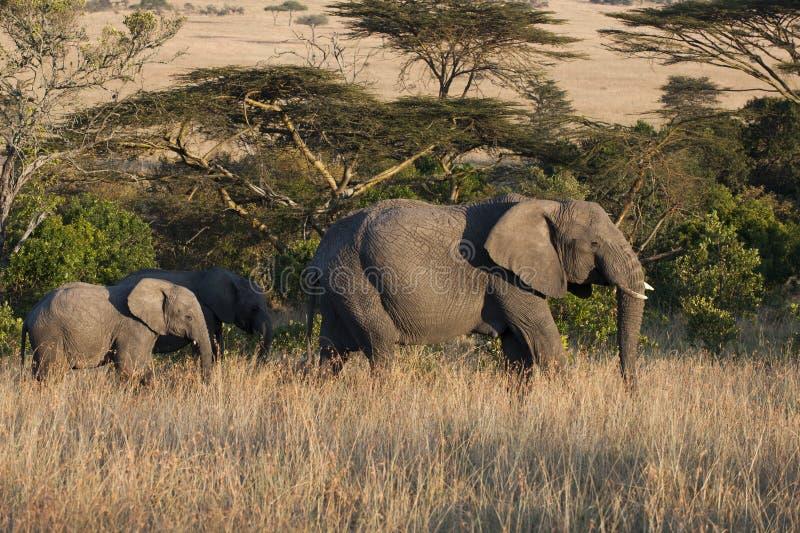 Mère d'éléphant avec le veau image libre de droits