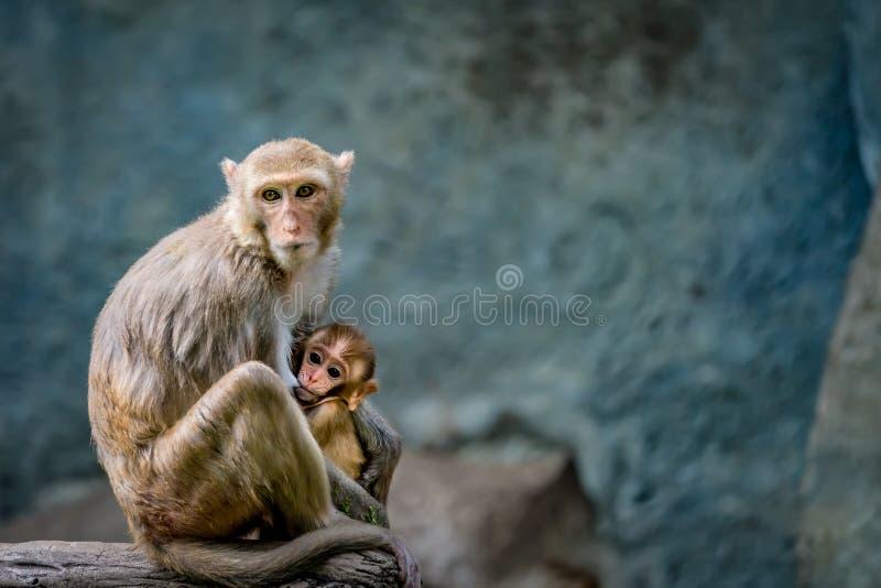 Mère d'allaiter nouveau-né de singe images libres de droits